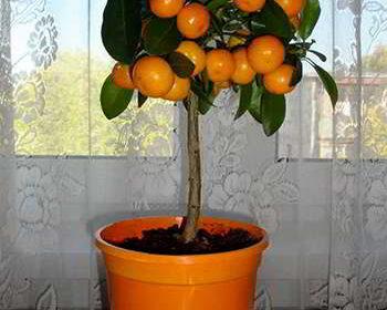 Апельсиновое гибридное мини дерево на столе