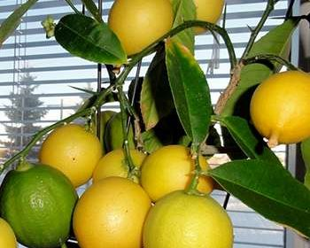 Гибиридно мини дерево Экодар на балконе